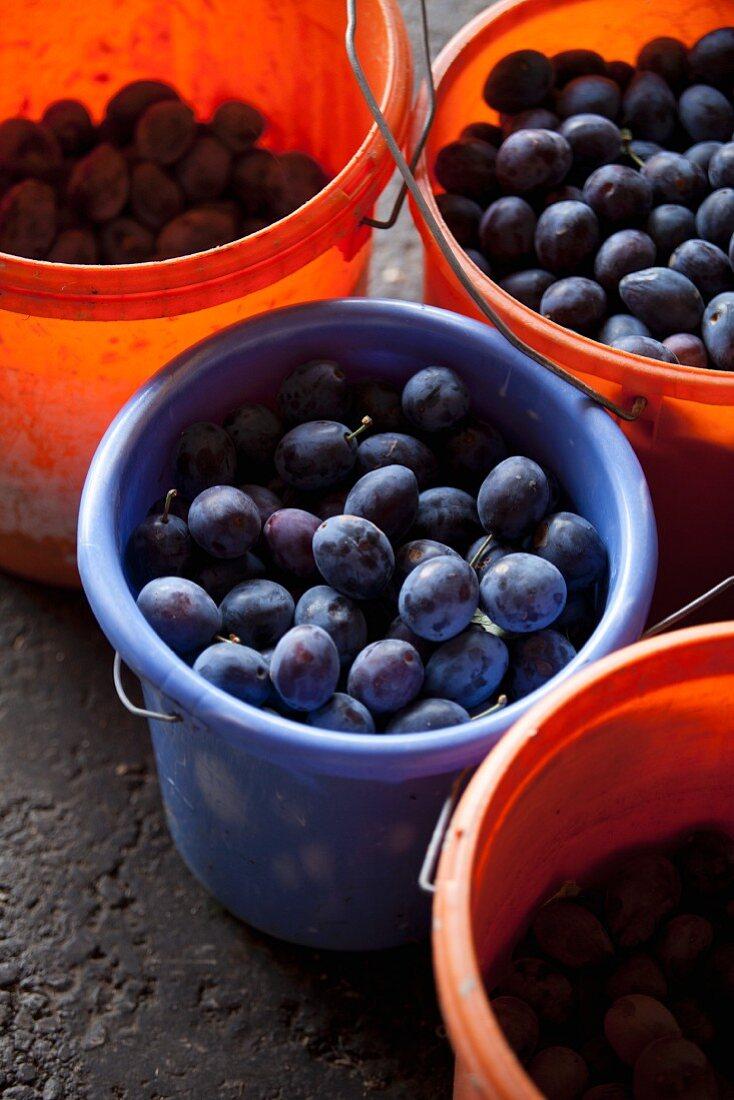 Freshly harvested damsons in plastic buckets