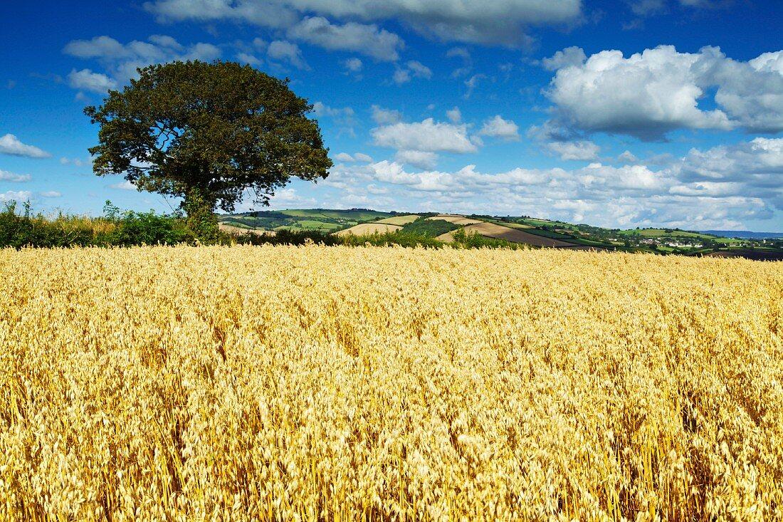 Ripe oats in an English landscape, Thorverton, Devon, England