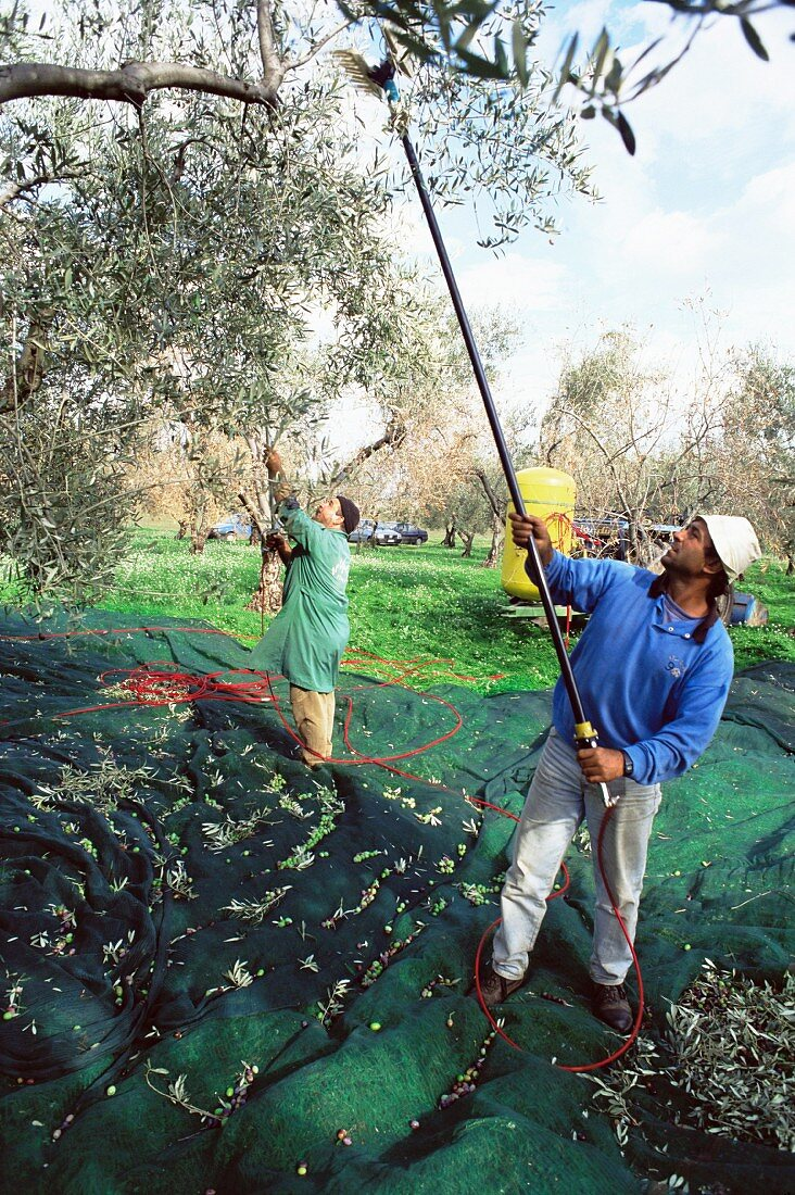 Olives being shaken from the trees in the groves of Marina Colonna, San Martino, Molise, Italy, Europe