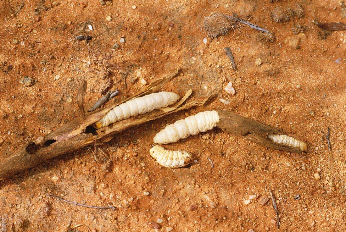 Wichetty grubs, eaten by Aborigines, Northern Territory, Australia