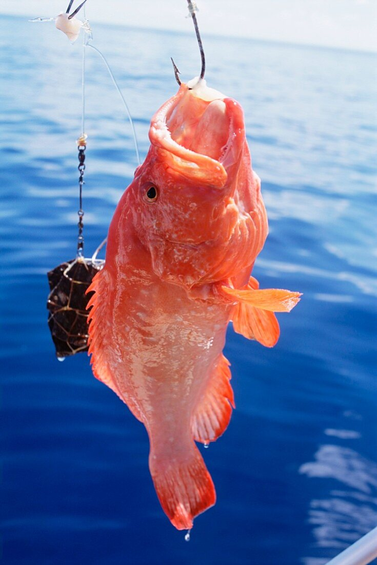 A fish hanging from hook, North-East coast, island of Praslin, Seychelles, Indian Ocean, Africa