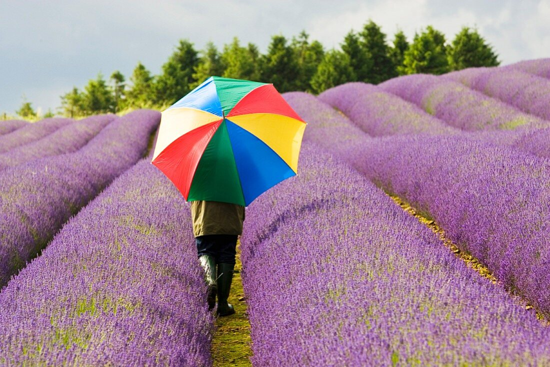 Woman walking through fragrant lavender field; Cotswolds, Great Britain