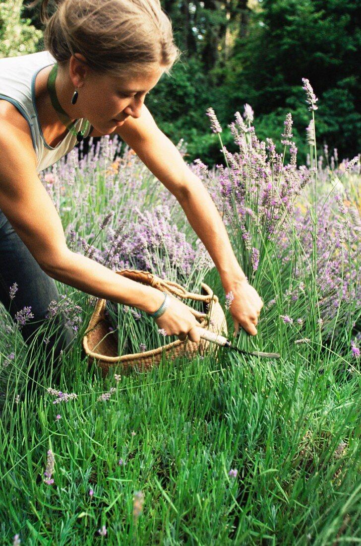 Lavender harvest; Vashon Island, Washington state, United States of America,