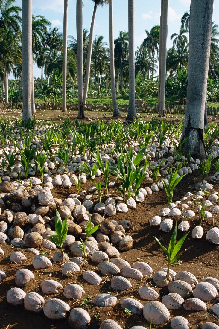 Sprouting coconuts and coconut palms on a plantation in Baracoa, Cuba, Central America