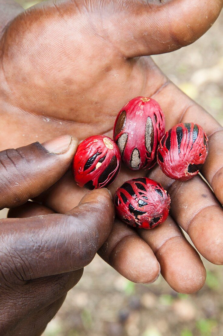 A man holding nutmegs from Grenada, West Indies, Caribbean, Central America