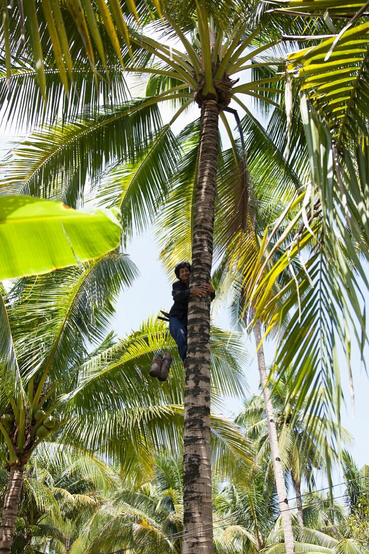 Coconut being picked