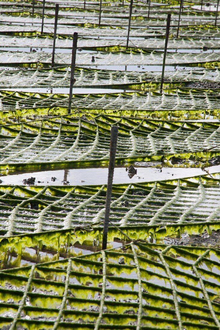An algae garden on the island of Okinawa, Japan