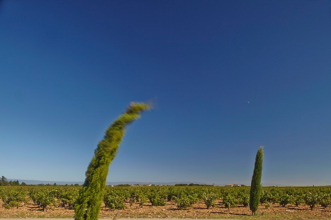 Pine tree bending in the wind at the Beaucastel vineyard in the Appellation Chateauneuf-du-Pape, France