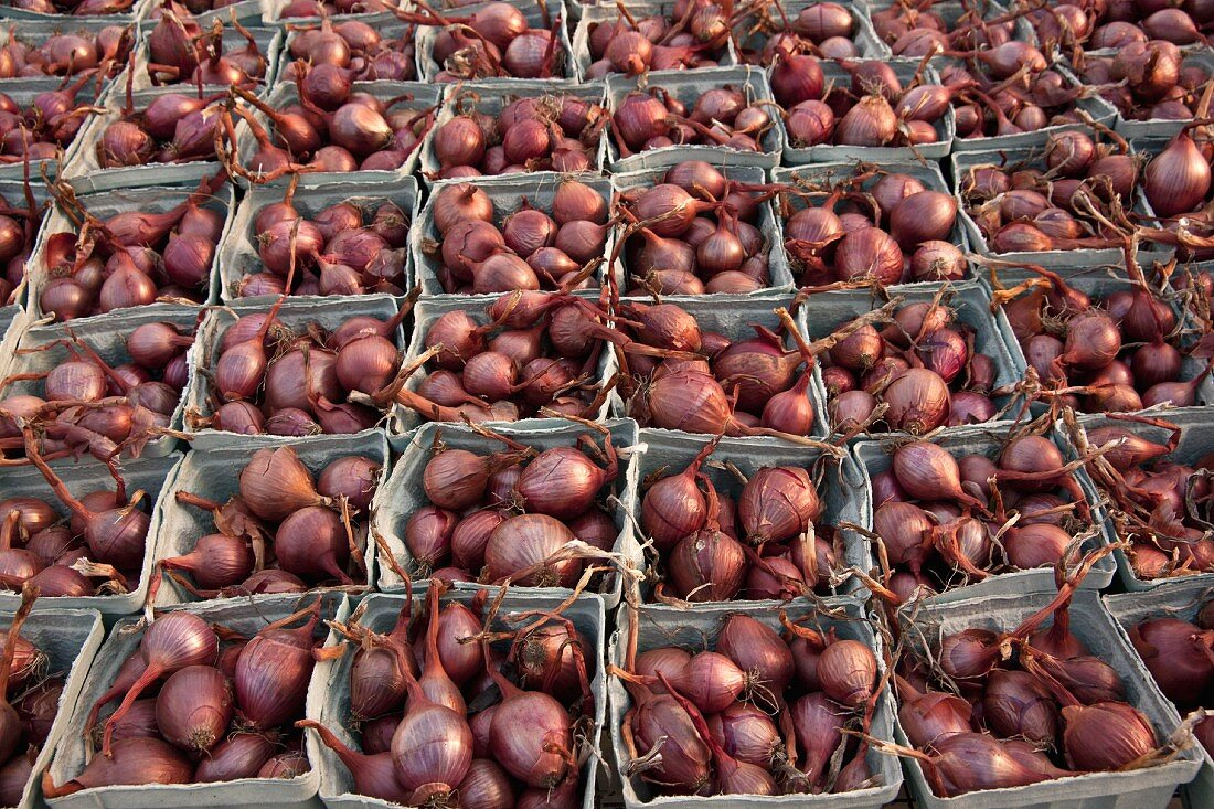 Red shallots in cardboard punnets at a farm