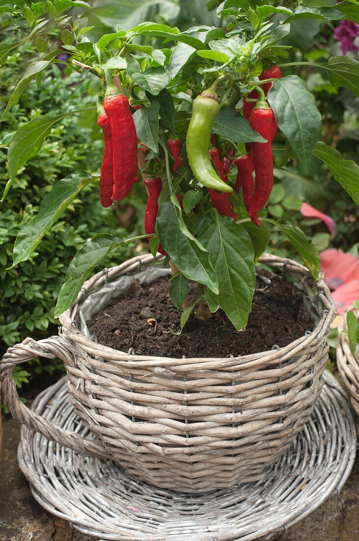 Chilli plant planted in wicker teacup outdoors