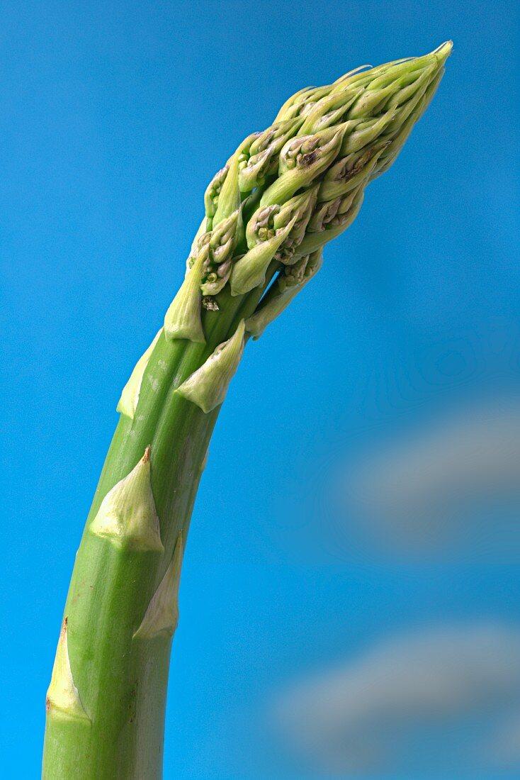 A spear of green asparagus in a field against a blue sky
