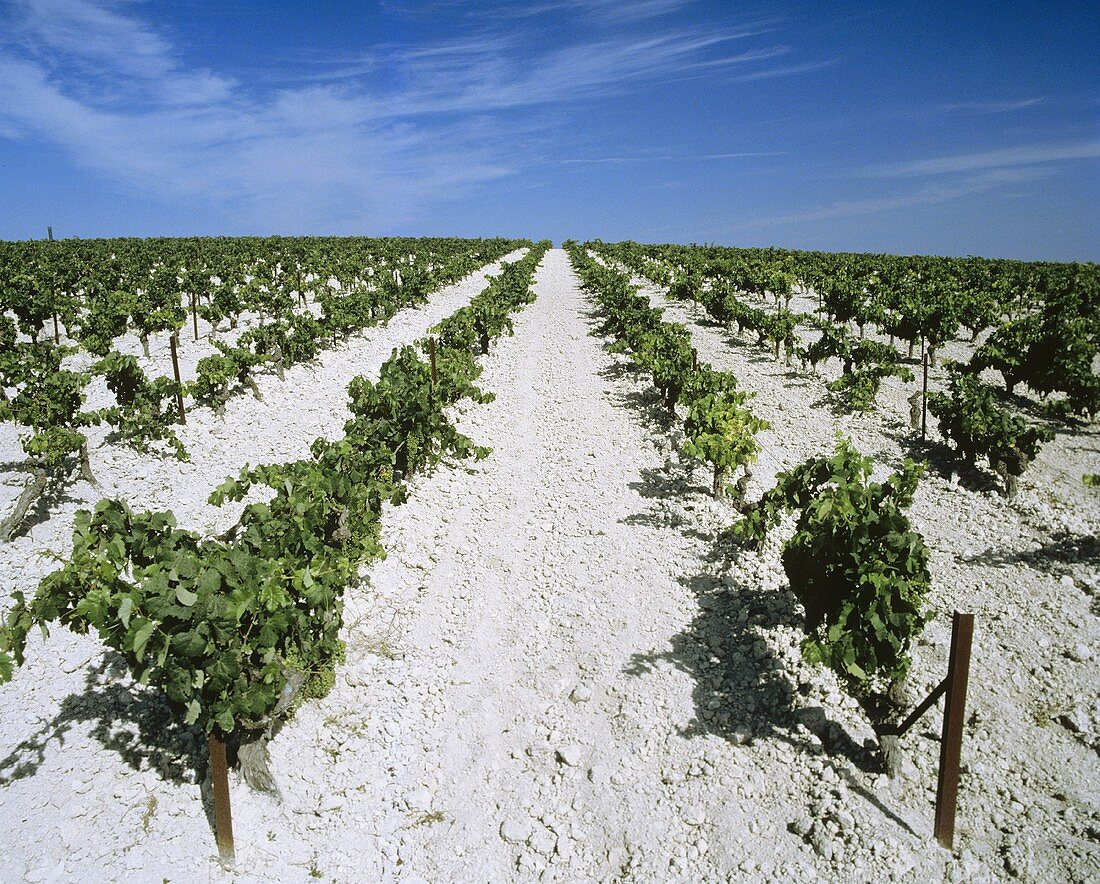 Palomino-Reben auf Lustau's Sherry-Kalkboden, Jerez, Spanien