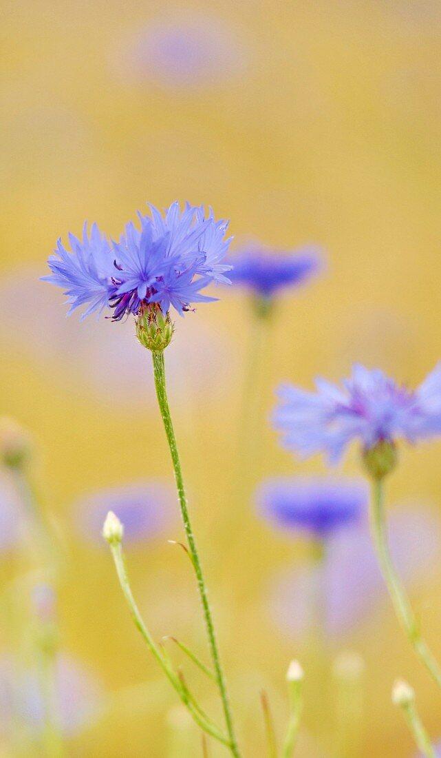 Cornflowers in a field (close-up)