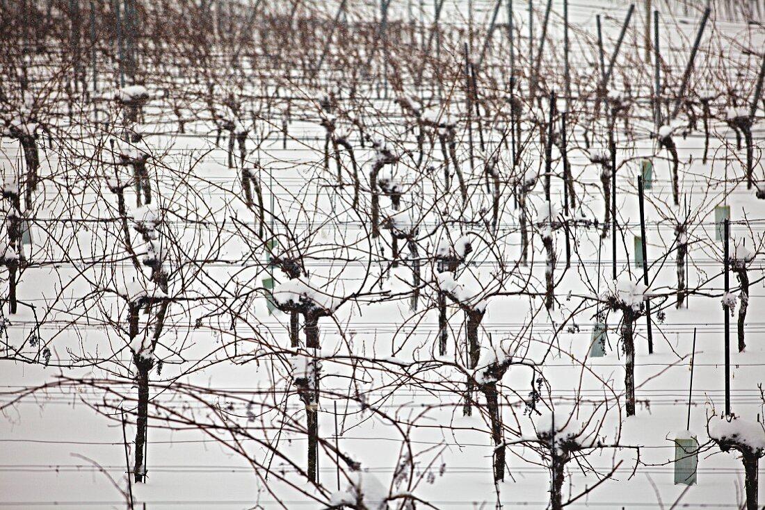 Vineyard in the winter snow (Austria)