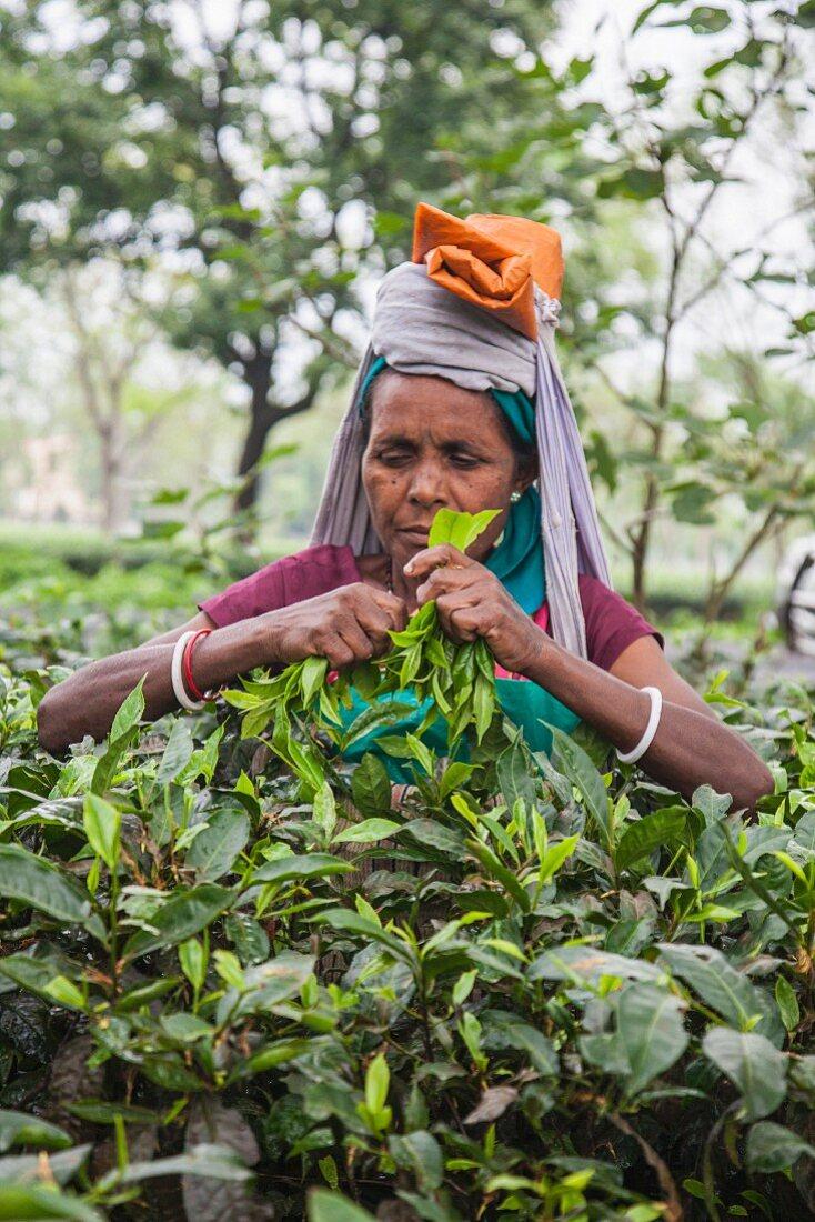 A woman harvesting tea, Bagdogra, Darjeeling, India