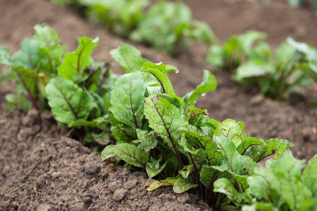 Young beetroot plants in a vegetable patch