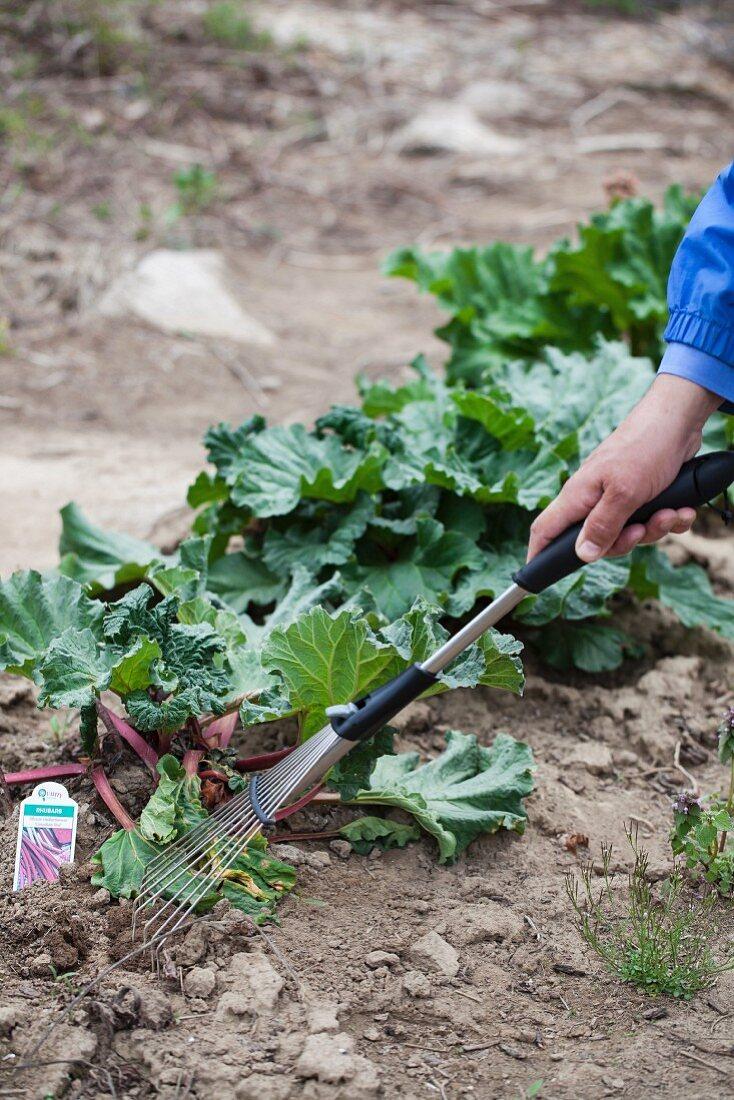 Rhubarb in the garden