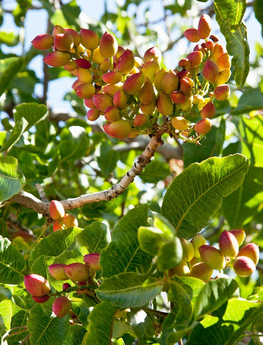 Pistachios on the tree