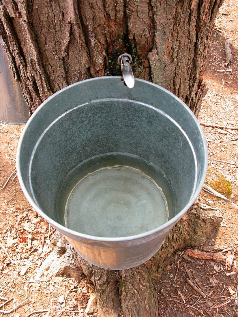 Maple tree sap flowing into a bucket