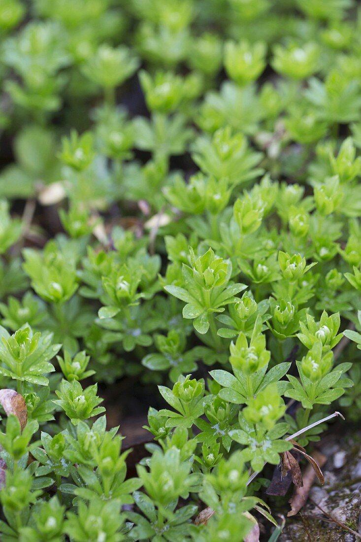 Woodruff growing in garden bed