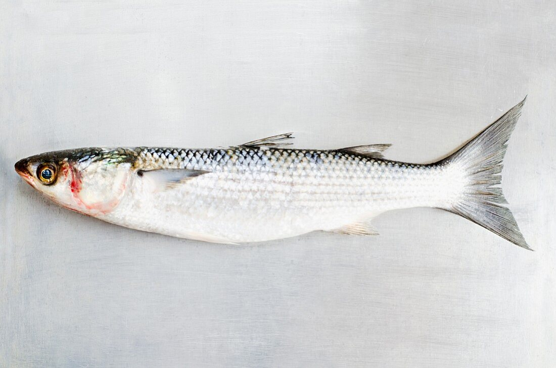 A grey mullet on a metal surface