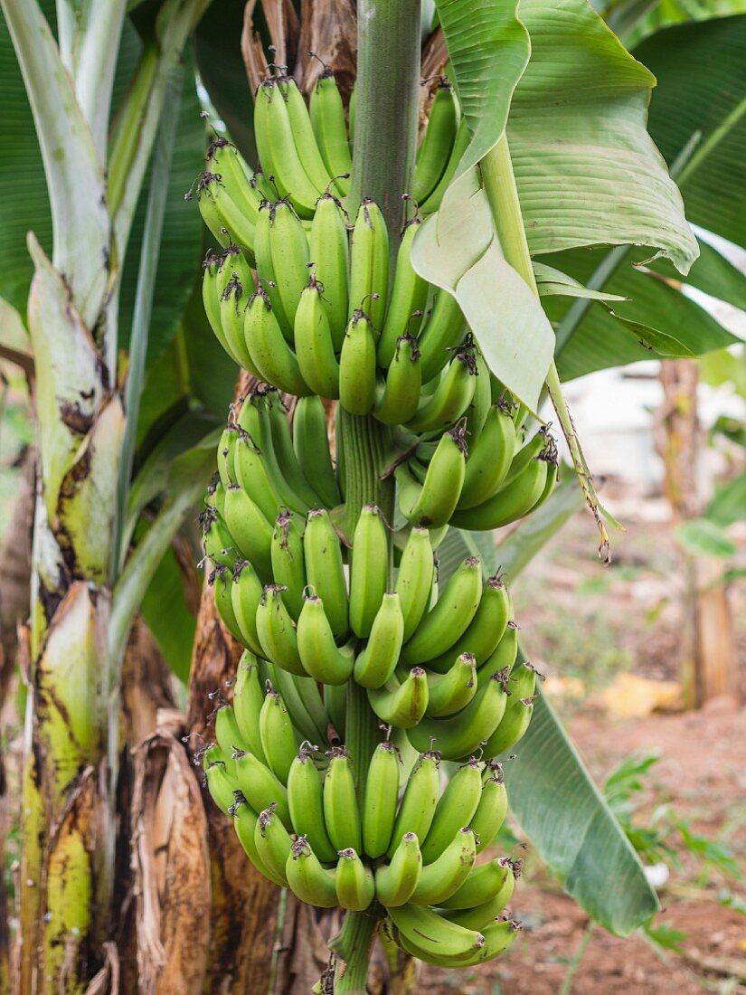 Green bananas growing in Tanzania, Africa