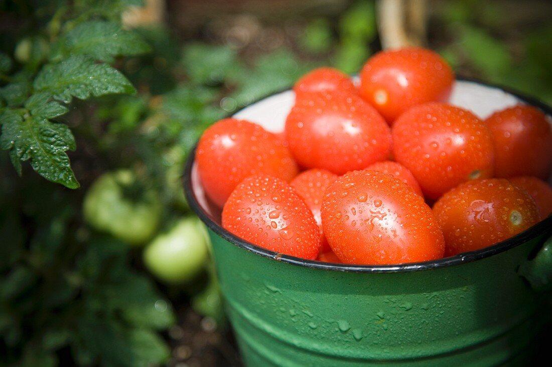 Freshly harvested plum tomatoes in an enamel bucket