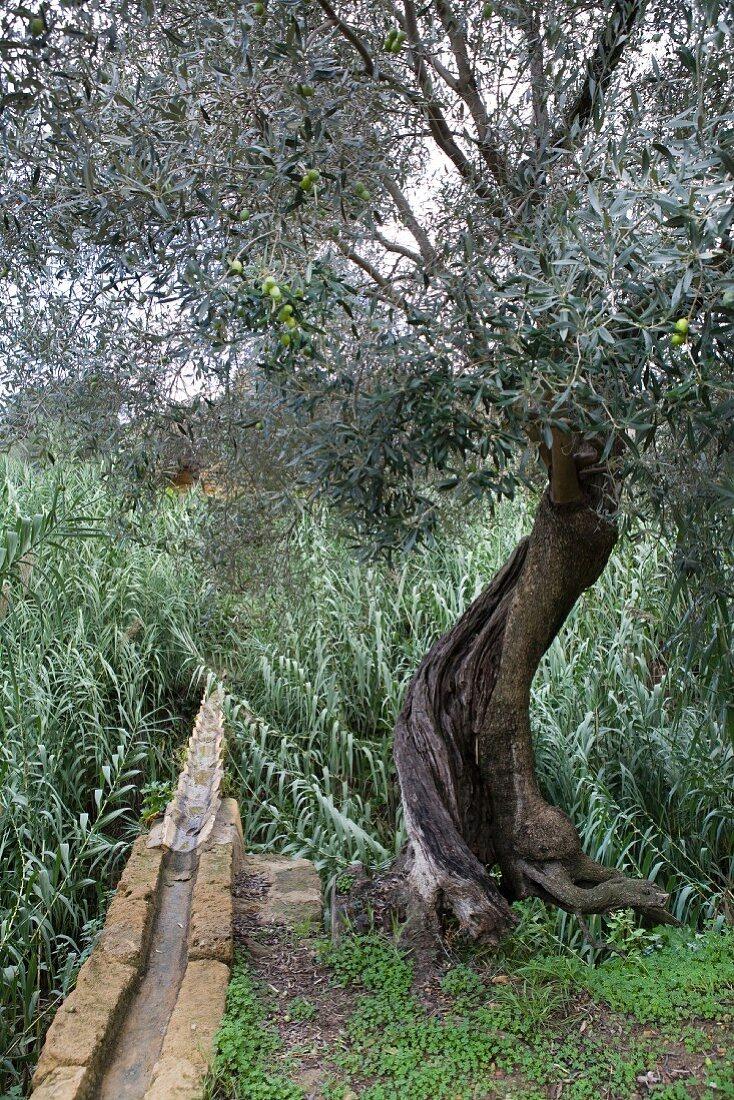 Olivenbäume auf Sizilien