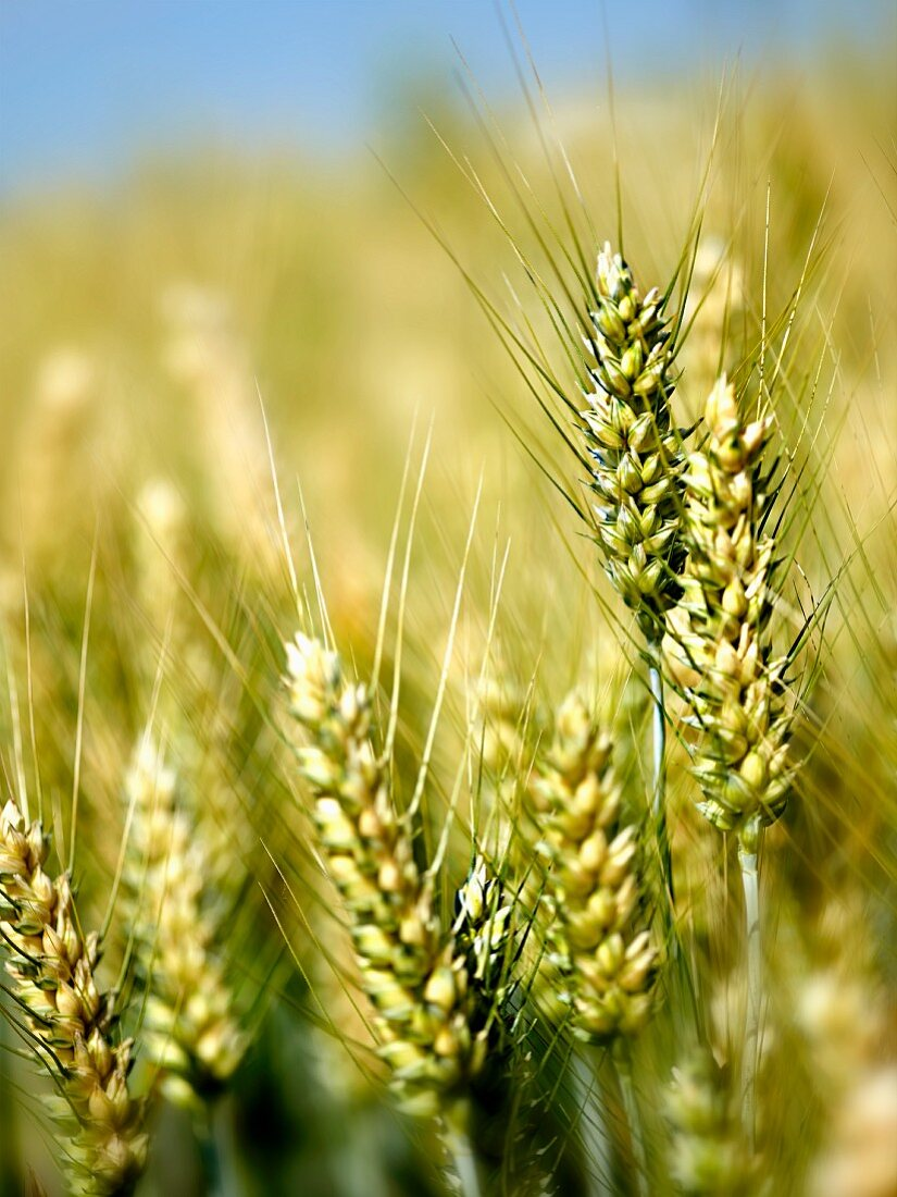 Ears of wheat in a field (close-up)