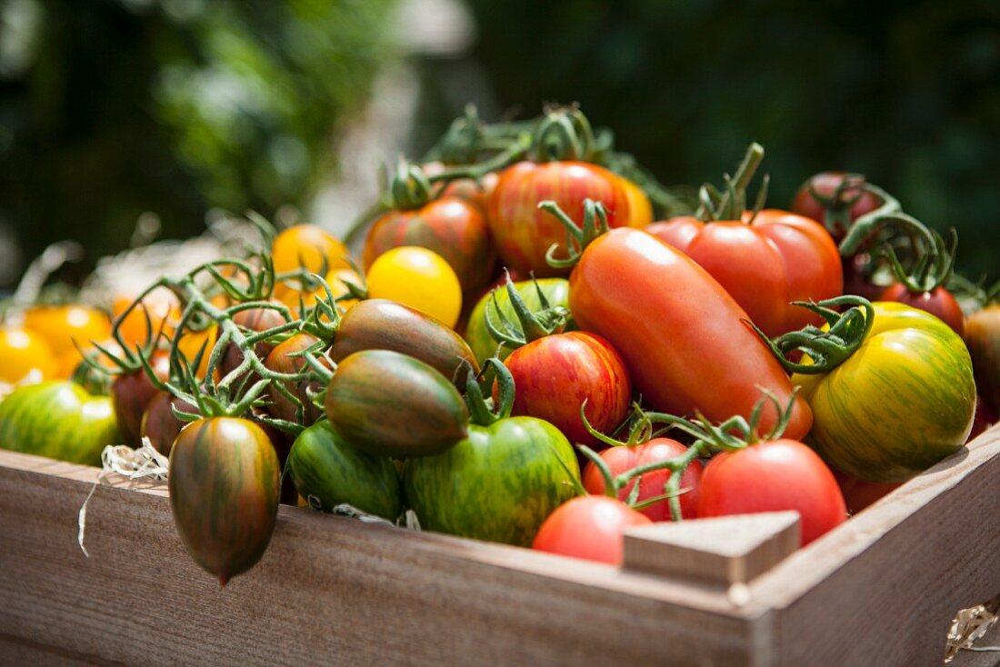 Gemischte Tomatensorten in einer Holzkiste