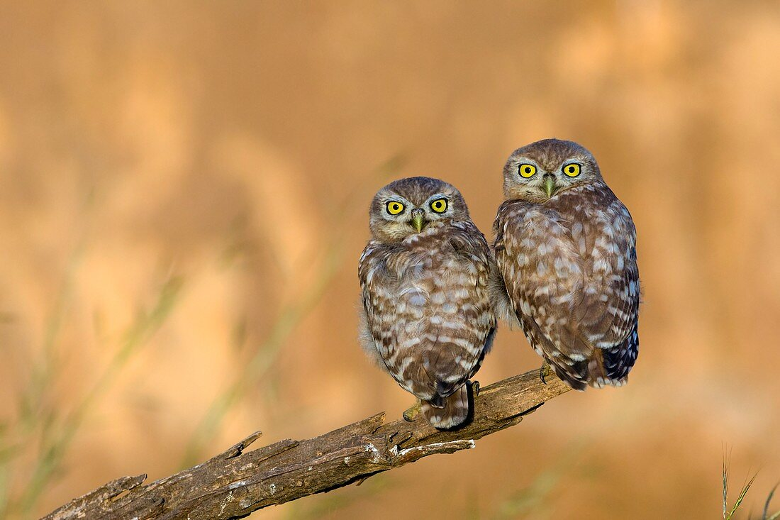 Little owl athene noctua couple