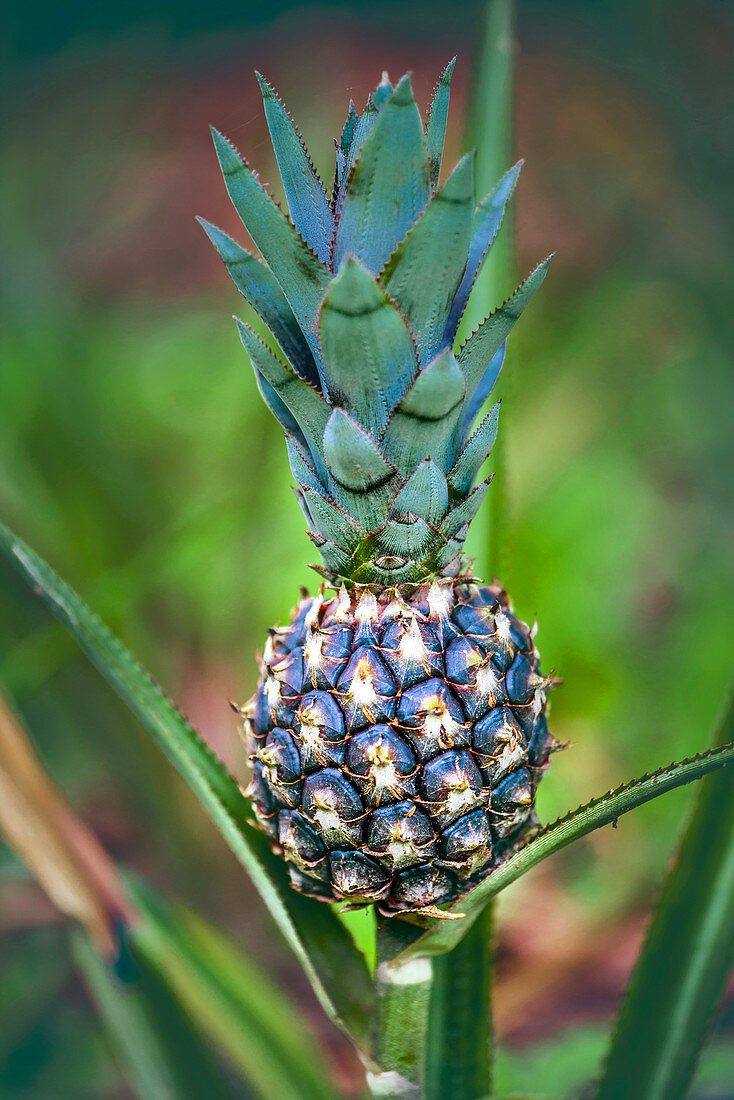 Pineapple growing on plant