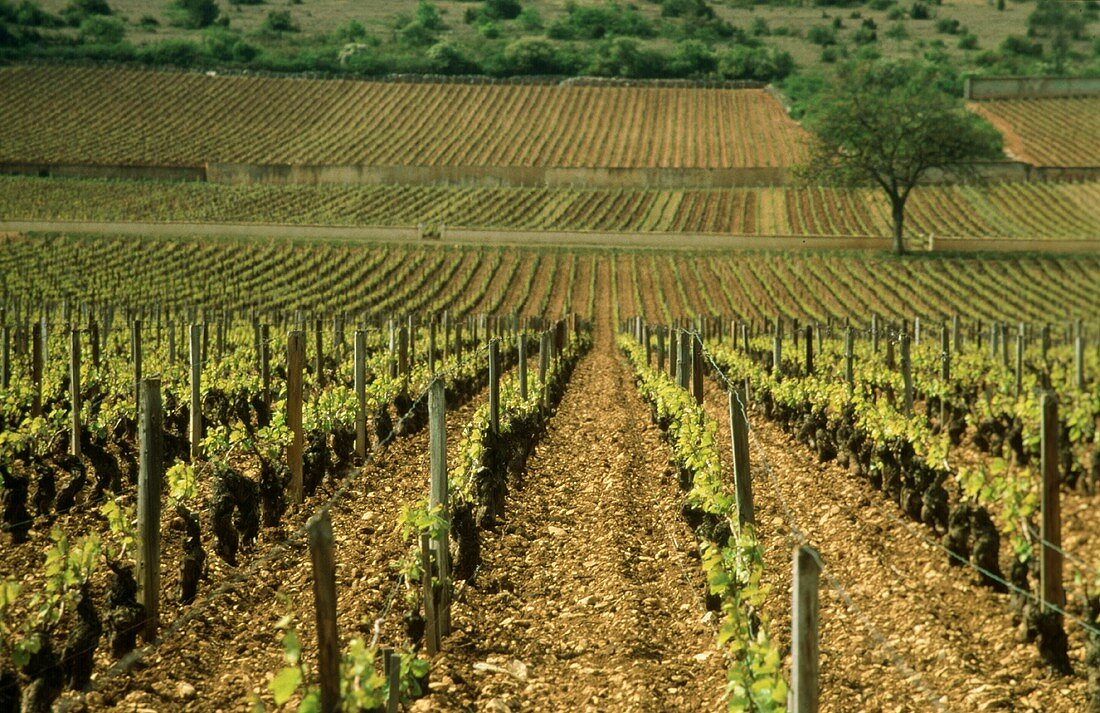Grand Cru plots in Le Montrachet: finest white Burgundy wines