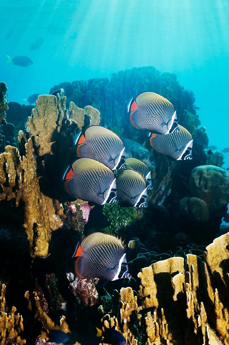 Redtail butterflyfish and coral
