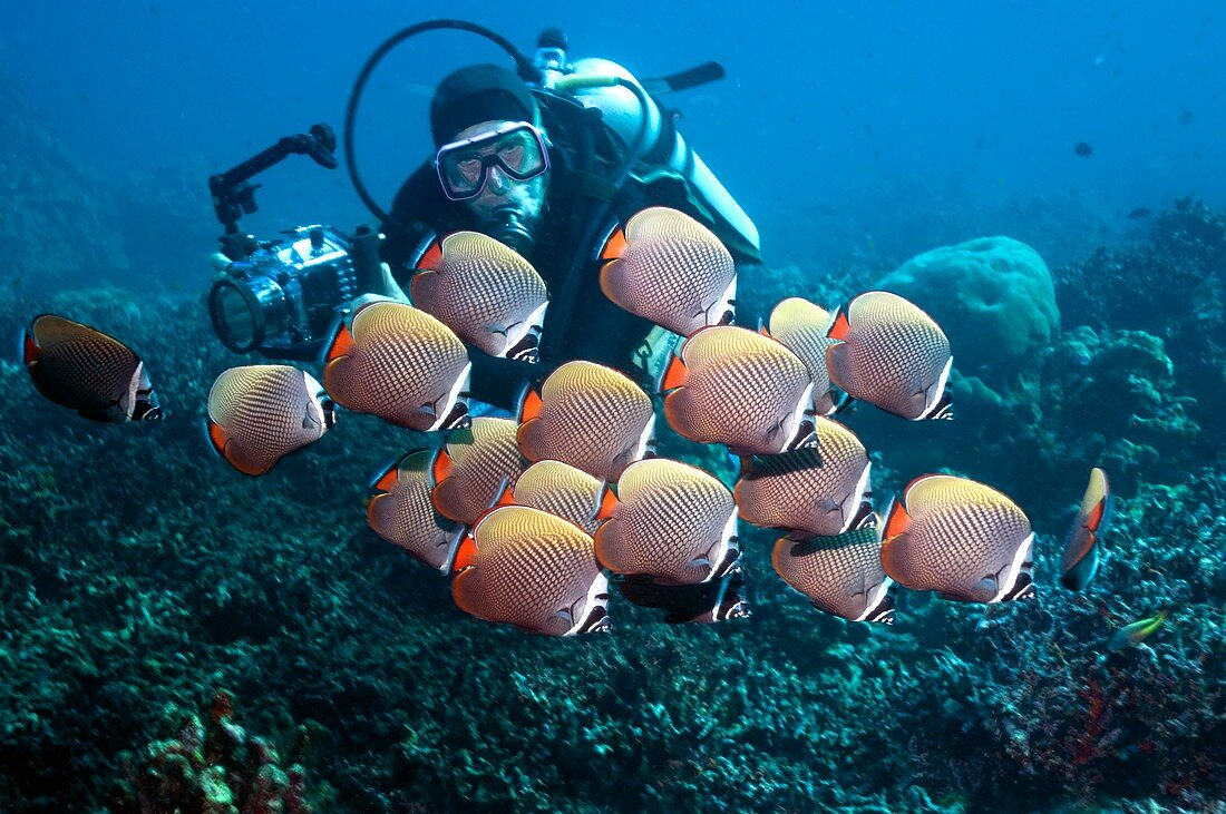 Diver with redtail butterflyfish