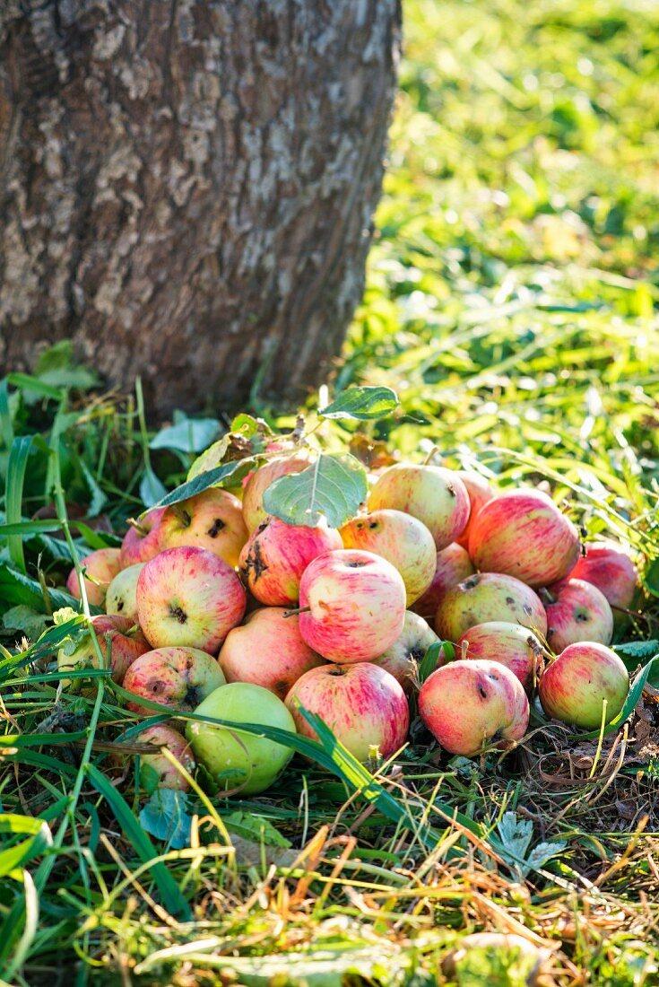 A bunch of ripe apples under an apple tree in a garden