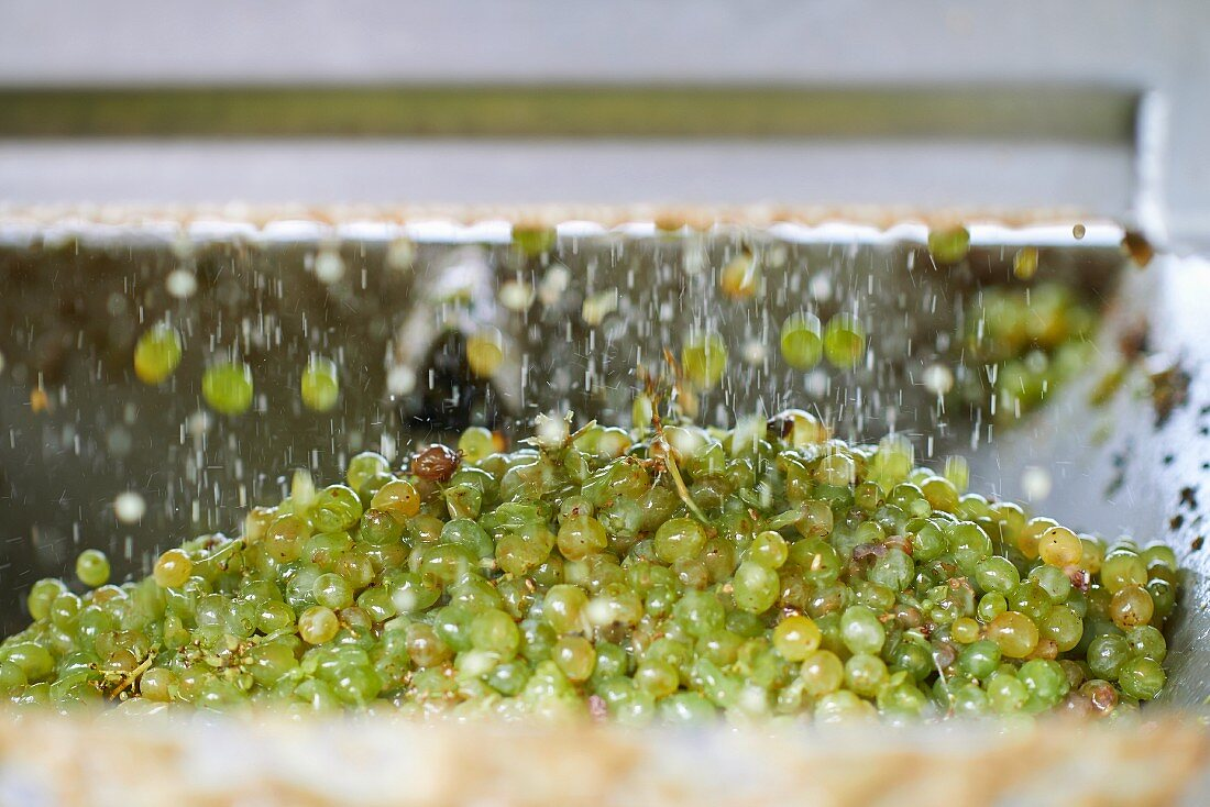 Grapes being removed by machine at the Dirk Niepoort wine estate in the Douro Valley in Vale de Mendiz, Portugal