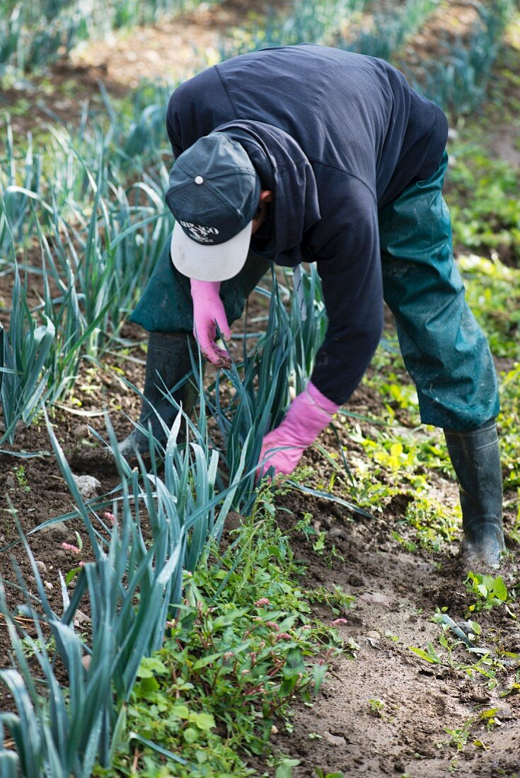 Organic leek cultivation: a farmer removes weeds by hand