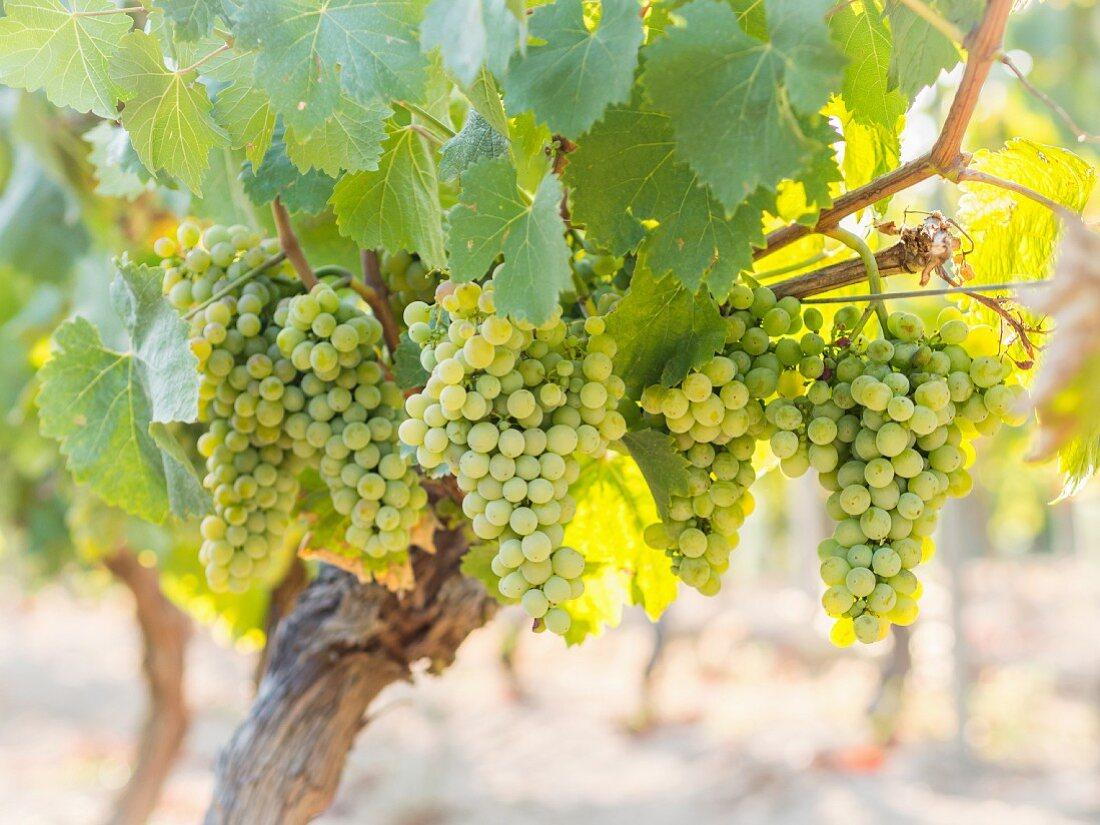 Green Albariño grapes on a vine in Galicia, Spain