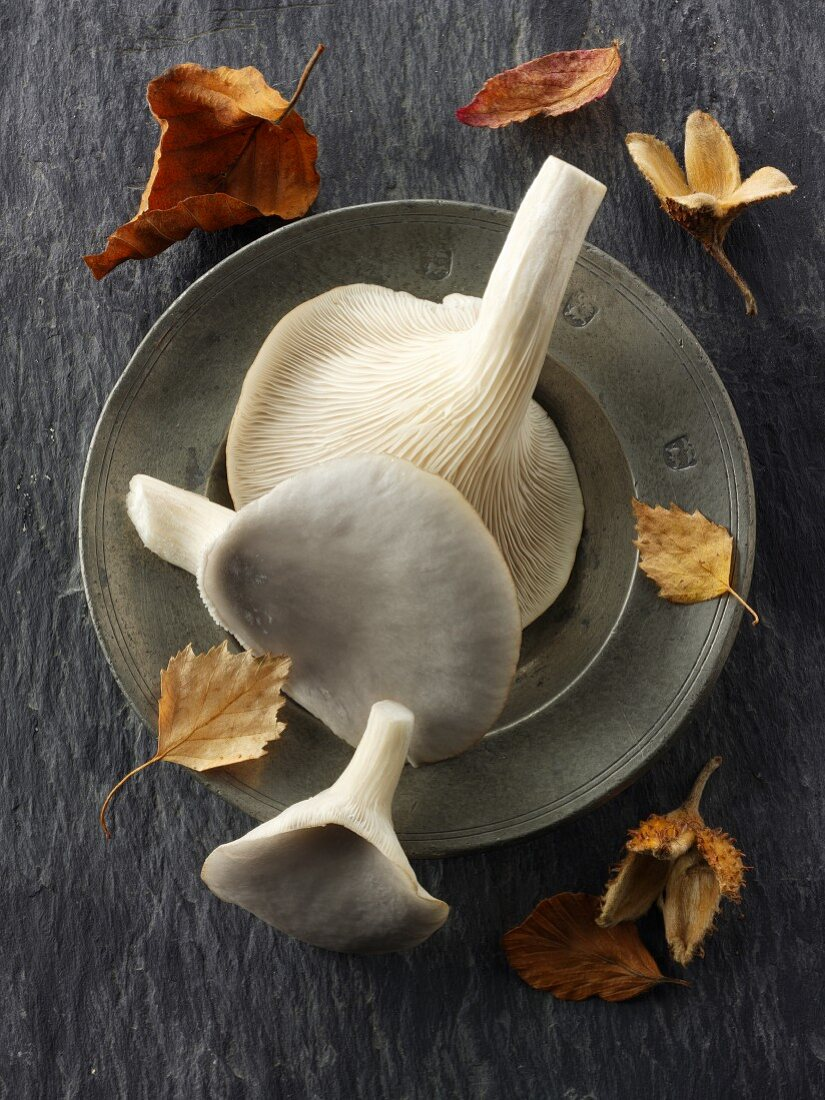 Fresh picked edible grey oyster mushrooms on a plate