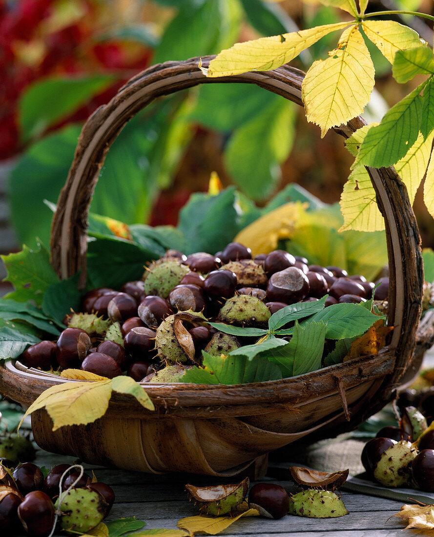 Korb mit Aesculus hippocastanum / Kastanien mit Blättern und Schalen frisch gesa