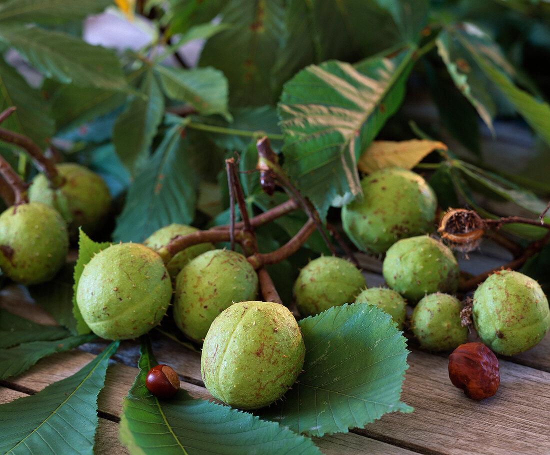 Aesculus hippocastanum (horse chestnut)