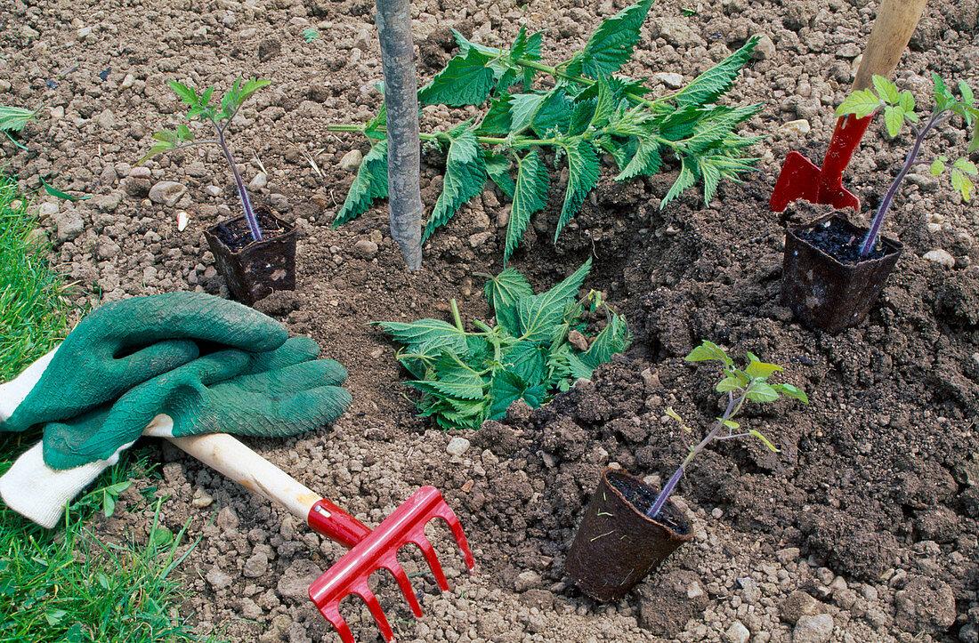 Tomaten Einpflanzen