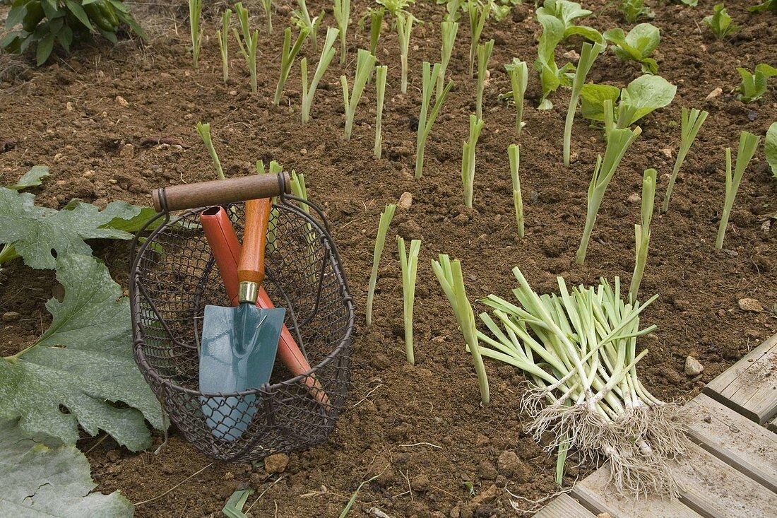 Plantation of Allium porrum (leek) in August, basket