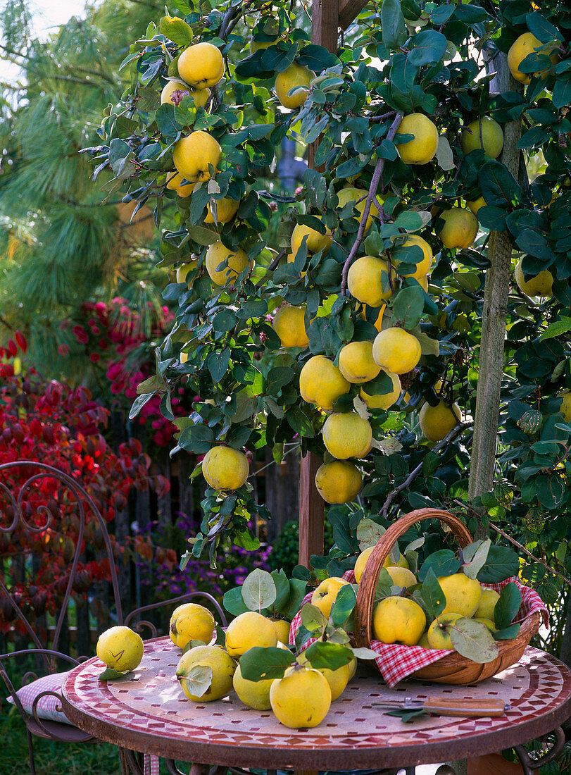 Cydonia 'Constantinople' (apple quince)