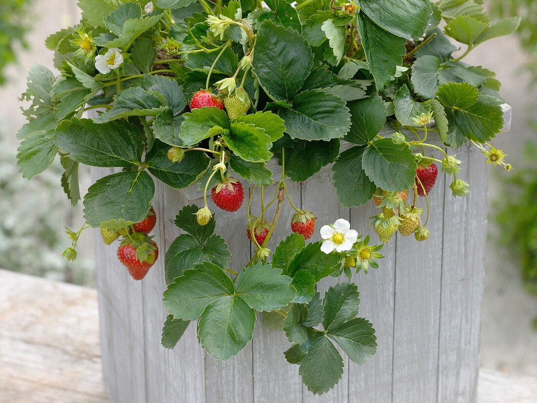 Fragaria 'Seskeep' syn. 'Seascape' (long-lasting strawberry)