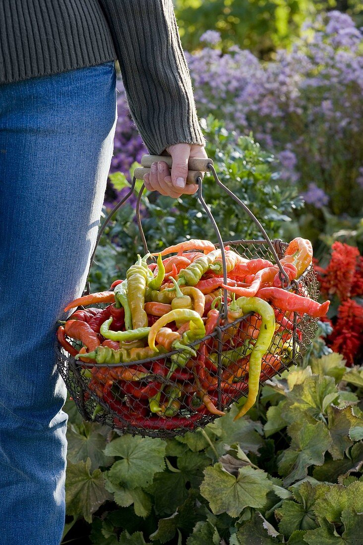 Young woman holds wire basket with hot peppers