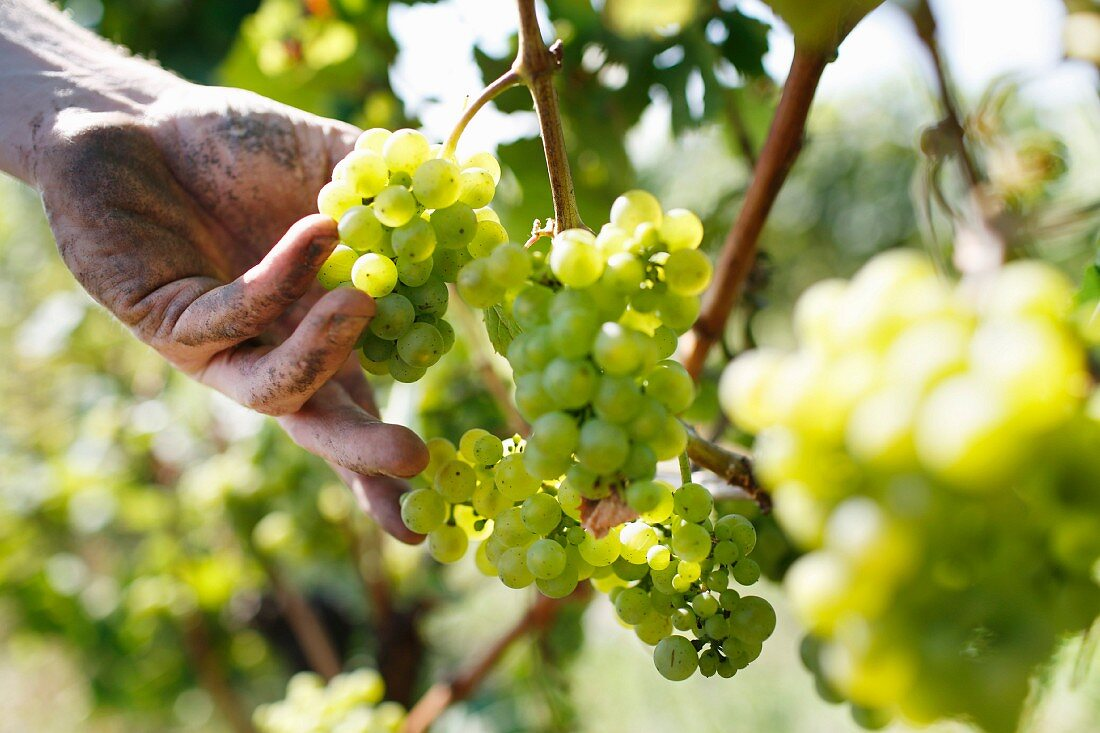 A hand holding a bunch of white wine grapes at the Peter Jakob Kühn winery in the Rheingau region of Germany