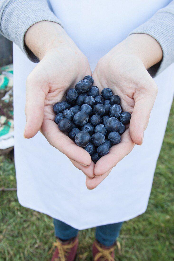Hands holding organic blueberries