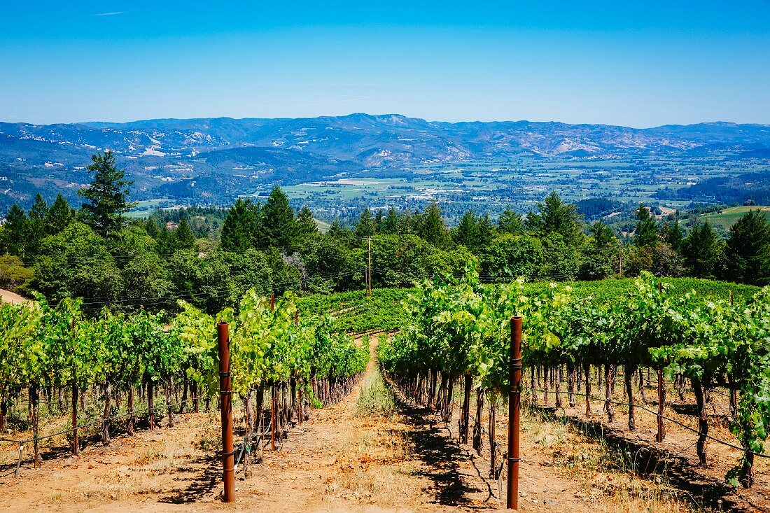 A view of a summer vineyard, Napa Valley, California, USA